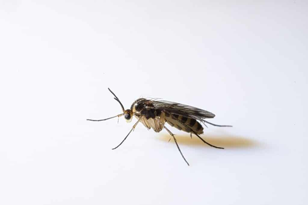 How to Get Rid of Gnats Using Homemade Gnat Traps